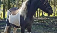 Ny häst på Åsbacka