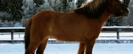 Ny häst på Åsbacka – Atli från Broaskog